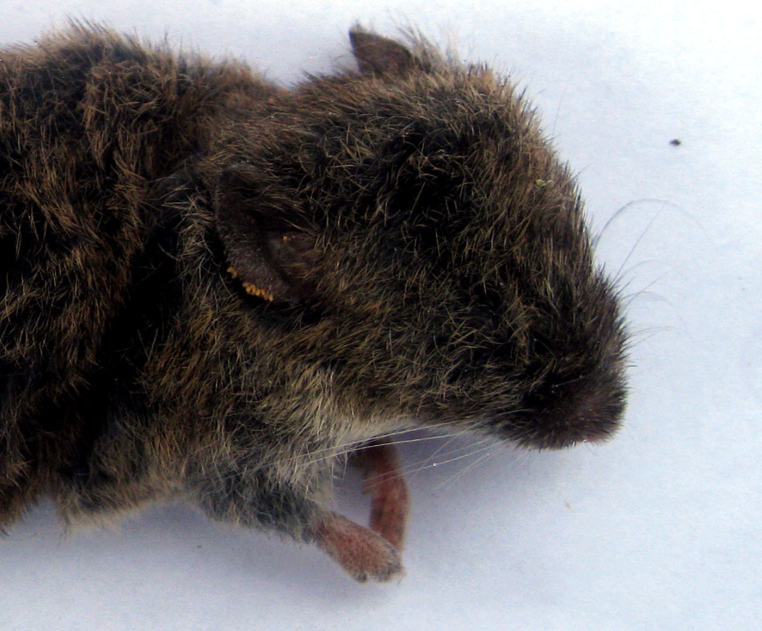 Vole with chigger mites on the ear margin